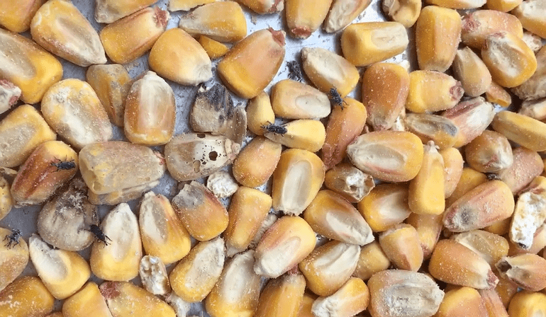 A overhead view of a pile of corn, there are bugs and holes in some of the kernels.