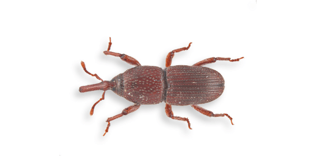 An overhead view of a Granary Weevil.
