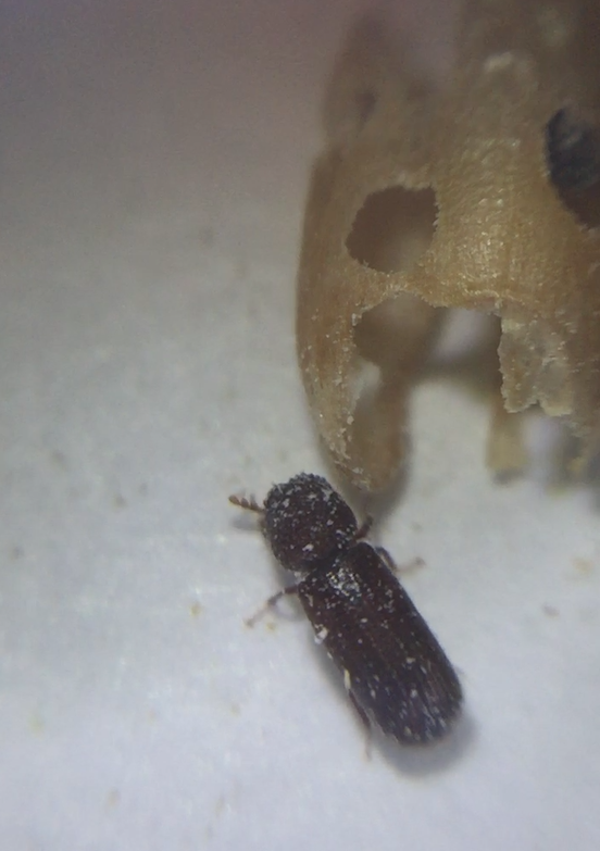 Image of a Lesser Grain Borer next to the grain it has eaten.
