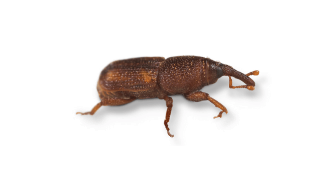Side view of a Rice Weevil.