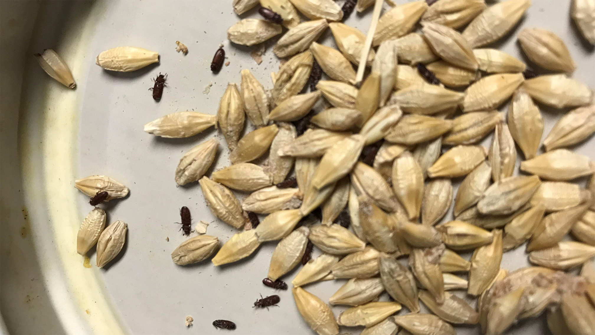 If you find signs of bugs in stored grain, it is important to properly identify which insects are present to know the most effective means of control.