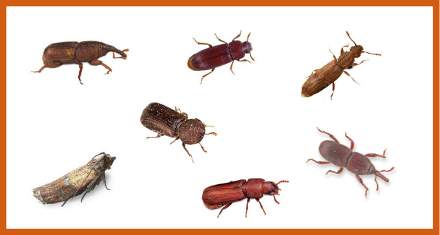 Know the Enemy: Stored Grain Insect Identification