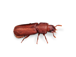 Side view of a large Confused Flour Beetle.