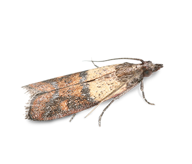 Overhead view of an Indian Meal Moth.