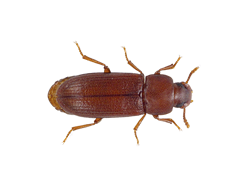 A overhead view of a Red Flour Beetle.
