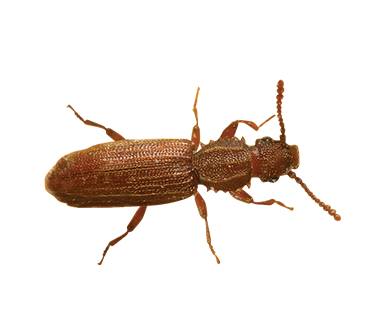 A overhead view of a Saw-Toothed Grain Beetle.